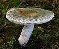 Russula parvovirescens 89307.jpg