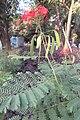 SZ 深圳 Shenzhen 羅湖 Luohu District Wenjin North Road 洪湖公園 Honghu Park Dec-2017 IX1 紅蝴蝶 Caesalpinia pulcherrima 番蝴蝶 洋金鳳 黃蝴蝶 豆科 蘇木屬 red flowers green leaves plant 09.jpg