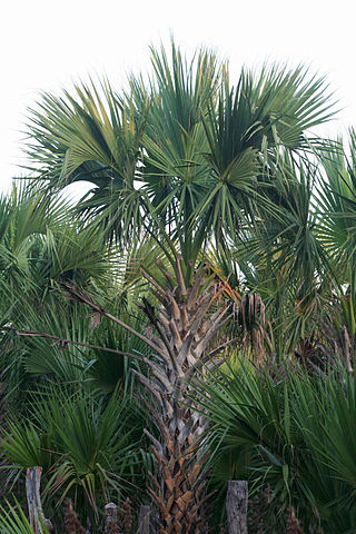 The Sabal mexicana (Texas sabal palm) is a native plant species in Brownsville. Sabal mexicana 1.jpg