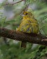 Saffron Finch male IB - Flickr - Lip Kee.jpg