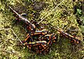 Salamandra salamandra Jungtiere 2012-11-06 002.jpg