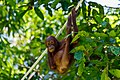 Sandakan Sabah Sepilok-Orangutan-Rehabilitation-Centre-15a.jpg