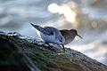 Sanderling (Calidris alba) (15838708767).jpg