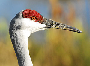 Crane (bird) - The bare area of skin on the face of a sandhill crane. This can change colour or even expand in area when the bird is excited