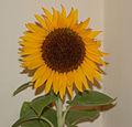 Sandy's Sunflower (2789459453).jpg