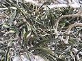 Sansevieria scimitariformis Mount Panda 1 (10962197553).jpg