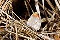 Scarlet tip butterfly (Colotis danae annae) male underside.jpg