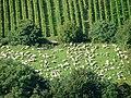 Schafherde - panoramio.jpg
