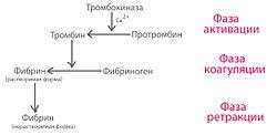 Процесс свертывания крови реферат 9044