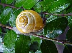 Certains escargots des jardins n'ont pas de spirale noire qui entoure la coquille.