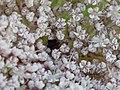 Schwarze Mohrenblüte.jpg