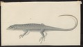 Scincus spec. - 1700-1880 - Print - Iconographia Zoologica - Special Collections University of Amsterdam - UBA01 IZ12600033.tif