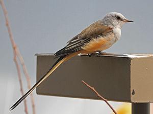 Scissor-tailed flycatcher - Image: Scissor tailed Flycatcher RWD3