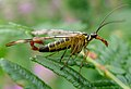 Scorpion Fly. Panorpa communis. Mecoptera (7837166610).jpg