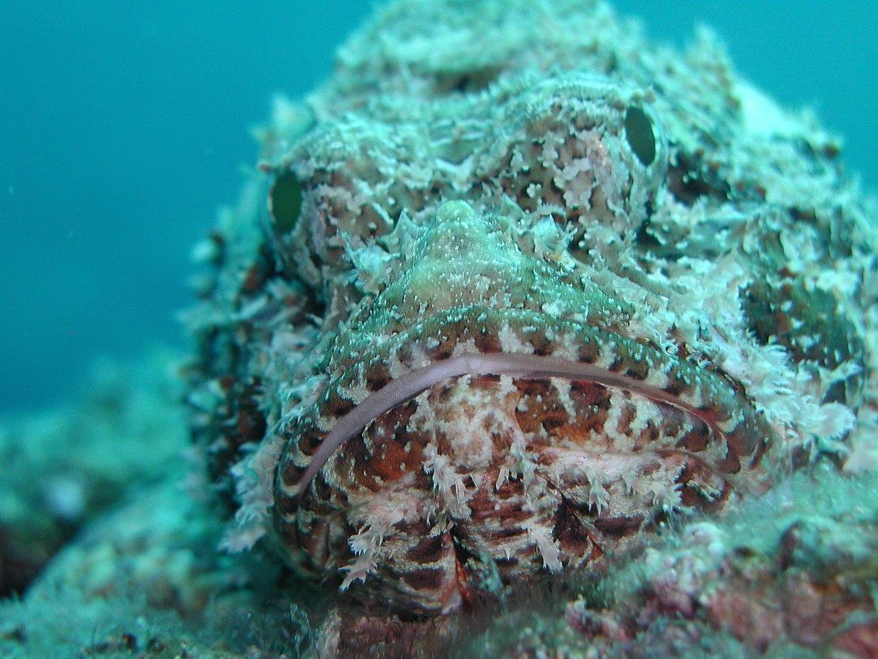 Ryba skopenokształtna mimikra