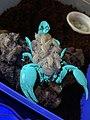 Scorpion with babies in UV.jpg