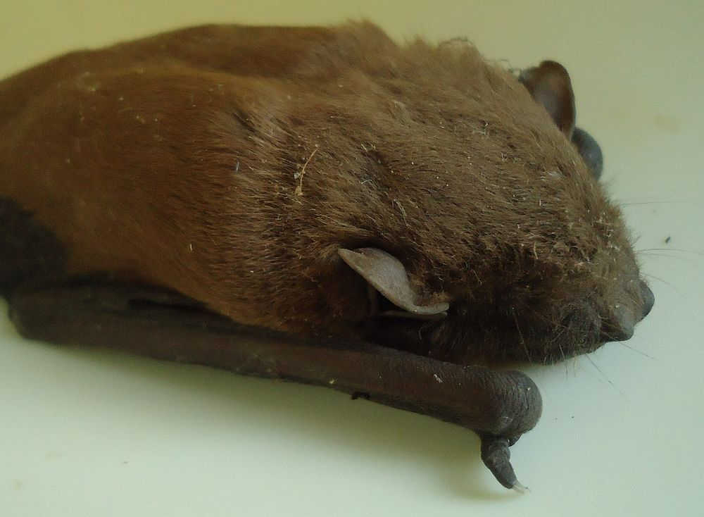 The average litter size of a Lesser Asiatic yellow bat is 1