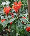 Scutellaria mociniana.jpg