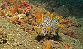 Sea Slug (Halgerda okinawa) (6079600603).jpg