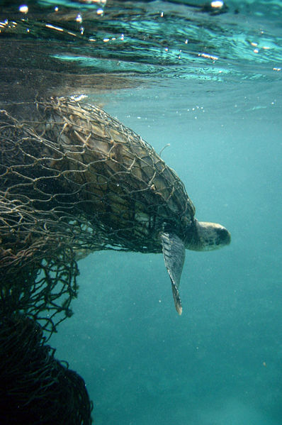 sea turtle trapped in ghost net