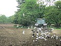 Seagulls behind the cultivations - geograph.org.uk - 484833.jpg