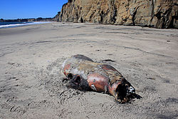 This seal at California beach was killed by a shark (probably a Great White Shark)