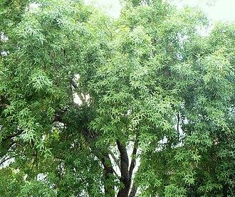 Searsia pendulina - Image: Searsia pendulina Wit Karee