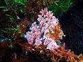Seaweeds at South East Bay, Three Kings Islands PA121442.JPG