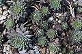 Sempervivum tectorum Red Beauty 4zz.jpg