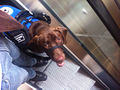 Service dog on escalator 2.jpg