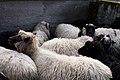 Sheep (Unsplash).jpg