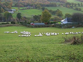 Sheep at Ardendrain.jpg