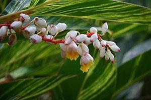 Alpinia zerumbet - Image: Shell Ginger Alpinia zerumbet 7395