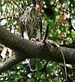 Shikra (Accipiter badius) with a Garden Lizard W IMG 8985.jpg