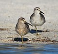 Short-billed Dowitcher standing in front of Red Knot (09-09-2007).jpg