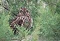 Short-eared owl-Asio flammeus.jpg