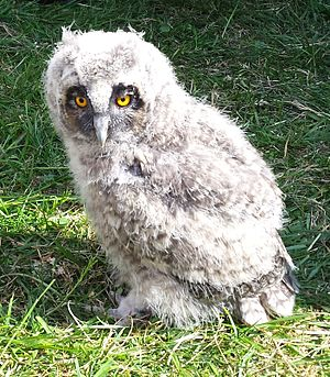 Owl - Captive short-eared owl chick at about 18 days old