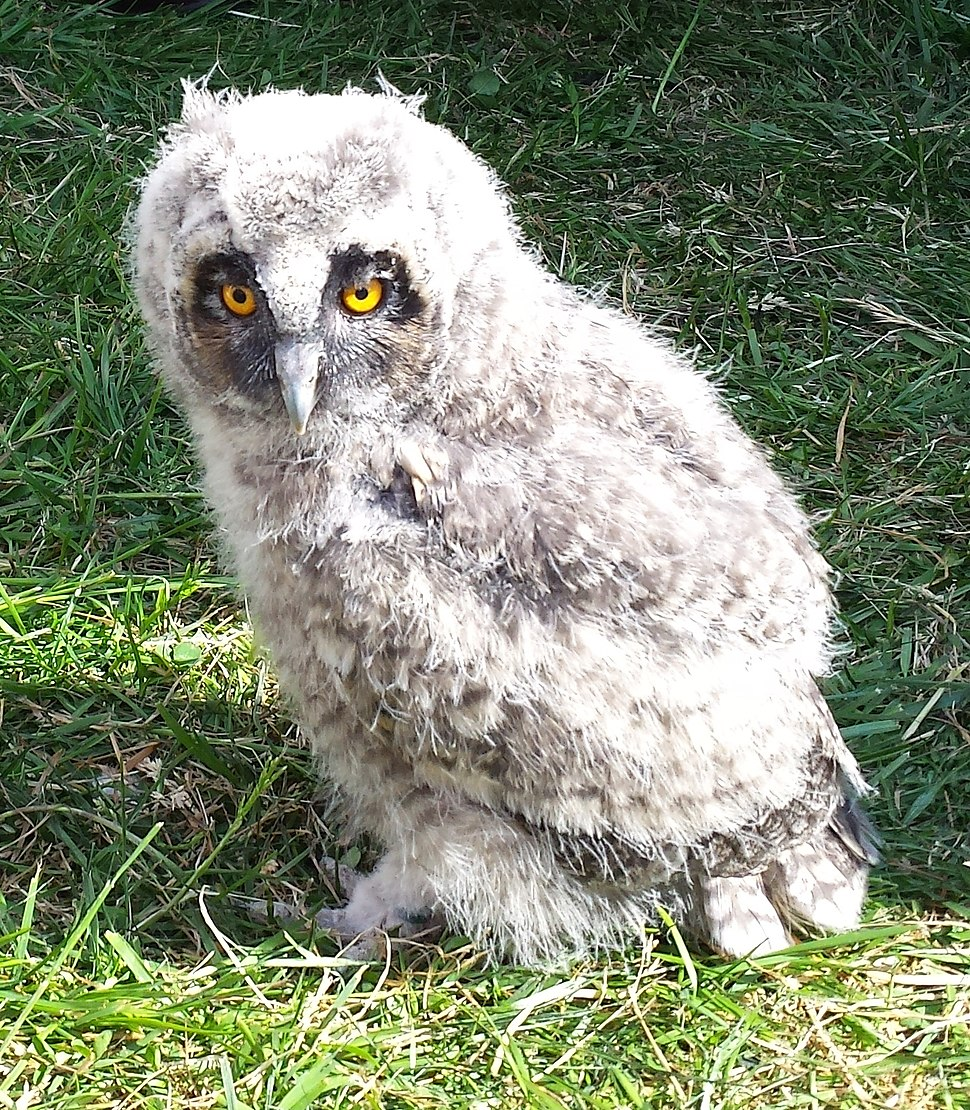 Short-eared owl chick