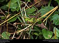 Short-horned Grasshoppers (Acrididae) (29993789883).jpg