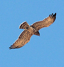 Short Toed Snake Eagle.jpg