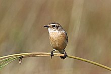 Siberian Stonechat (Saxicola maurus) female, Salai, UP, India.jpg