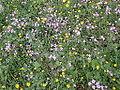 Silene aegyptiaca flowers from kdumim winter 2014 04.JPG