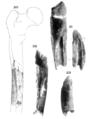 Sinanthropus Femur VI.png