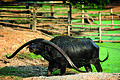Singburi Domestic Water Buffalo Conservation and Breeding Centre.jpg