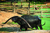 Singburi Domestic Water Buffalo Conservation and Breeding Centre.jpg