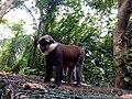 Singe à ventre rouge du sanctuaire des singes de Drabo à Calavi.jpg
