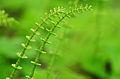 Skrzyp polny (Equisetum arvense).jpg