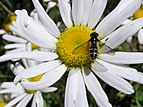 Small striped fly 02.jpg