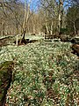 Snowdrops in Easter Wood - geograph.org.uk - 685988.jpg