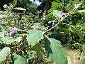 Solanum americanum-Jardin botanique de Kandy (2).jpg